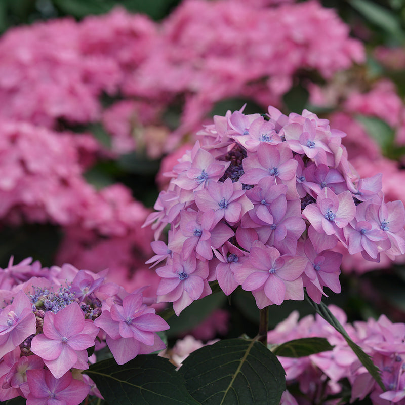 The lacecap blooms of Let's Dance Can Do reblooming hydrangea in purple.