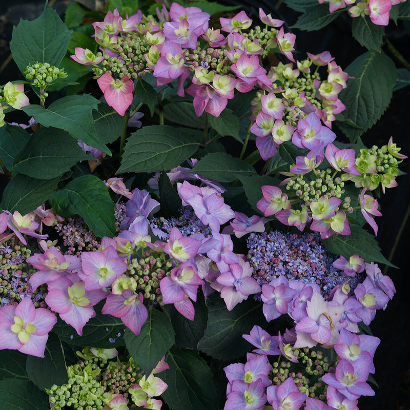 Looking down at several purple flowers of Let's Dance Can Do reblooming hydrangea.