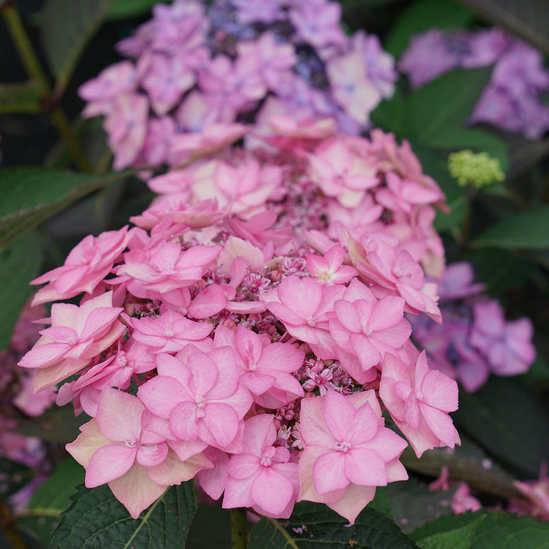 A pink lacecap bloom of Let's Dance Can Do reblooming hydrangea.
