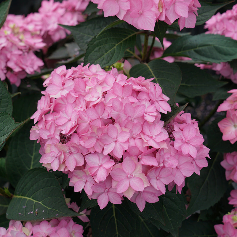 The lacecap blooms of Let's Dance Can Do reblooming hydrangea in pink