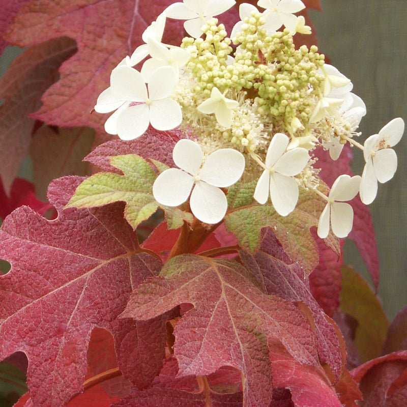 The normally golden foliage of Little Honey oakleaf hydrangea turns vivid red in autumn.