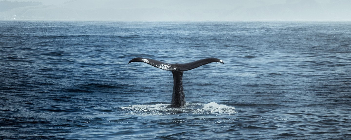 grey whale watching in san diego occurs because of their migration