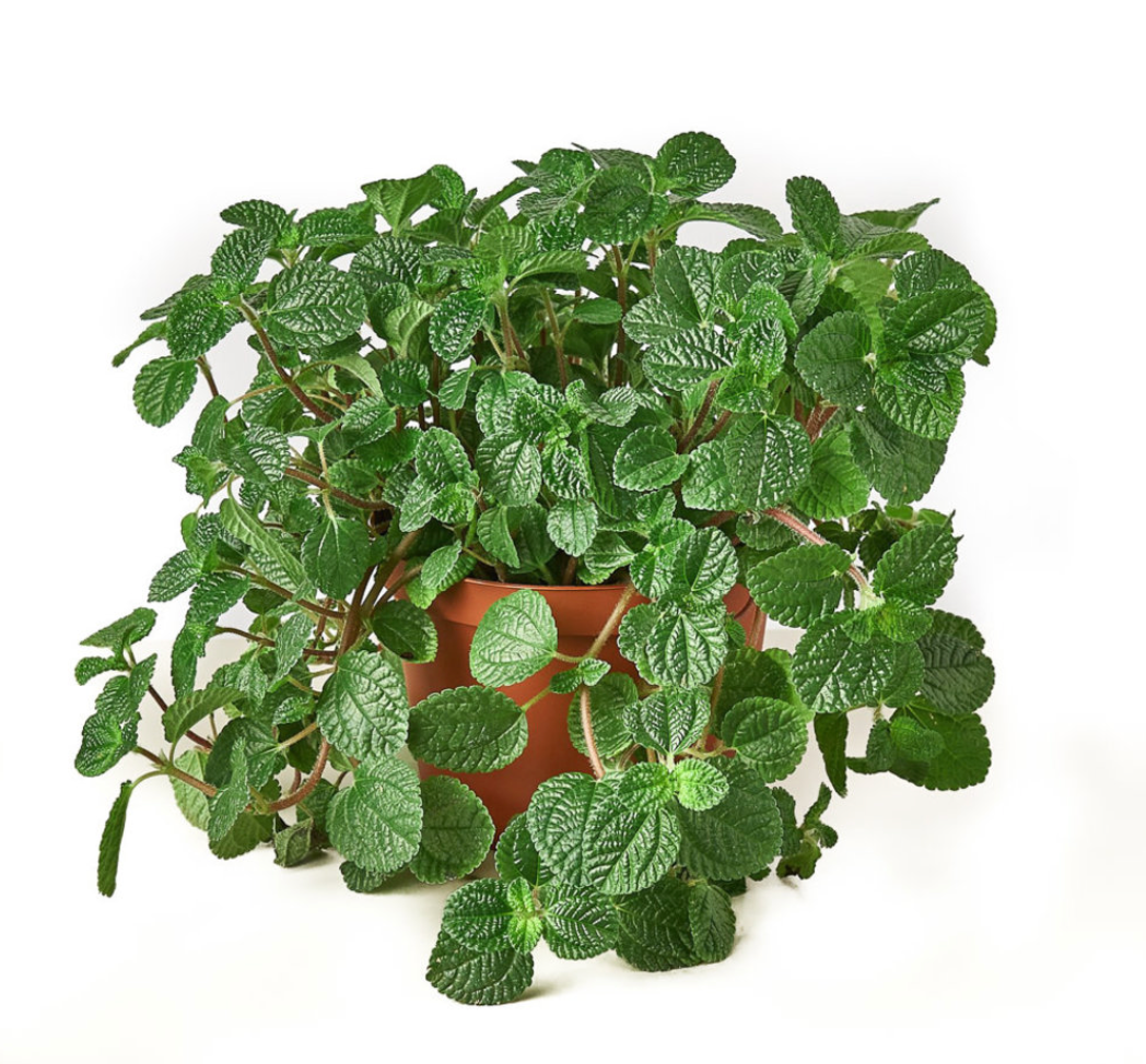 Pilea- Creeping Charlie 4in