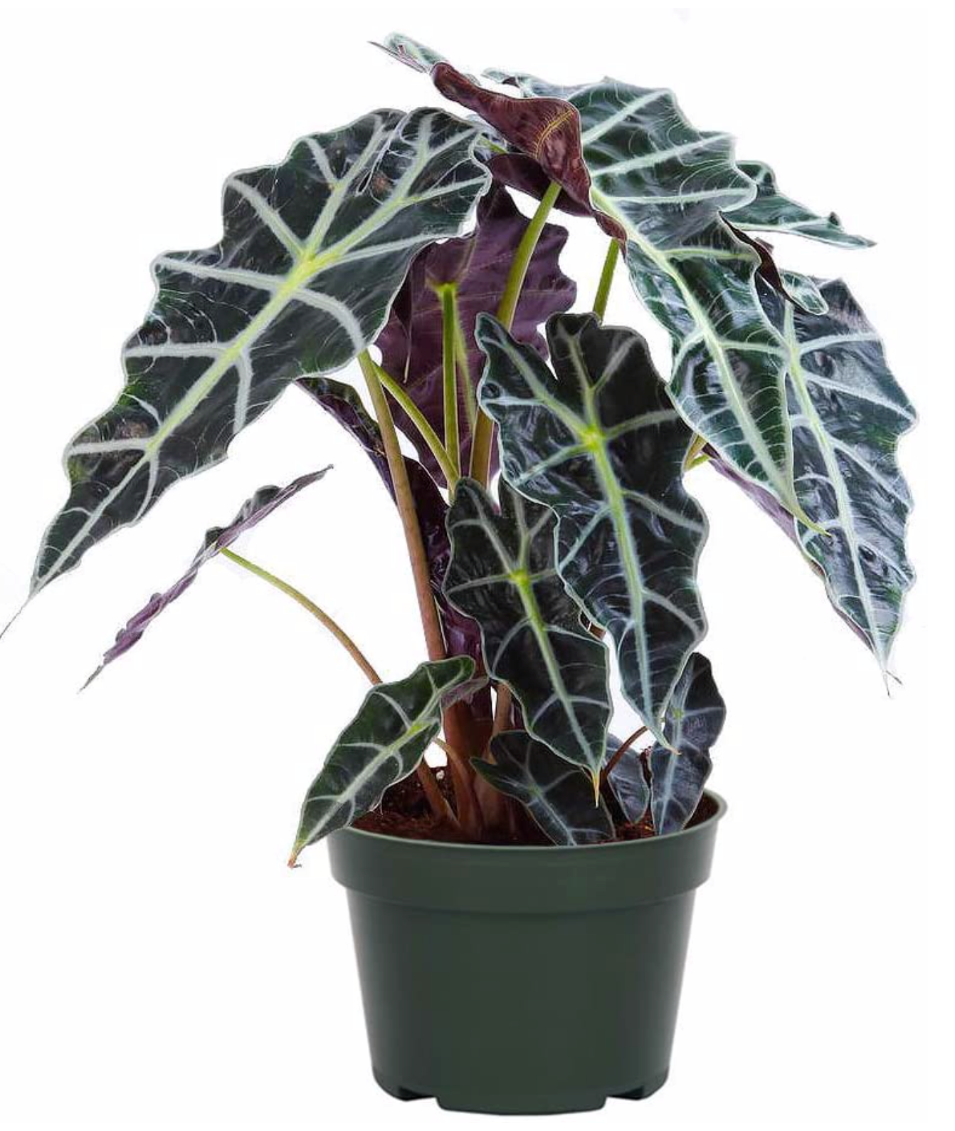 Alocasia African Mask 6in