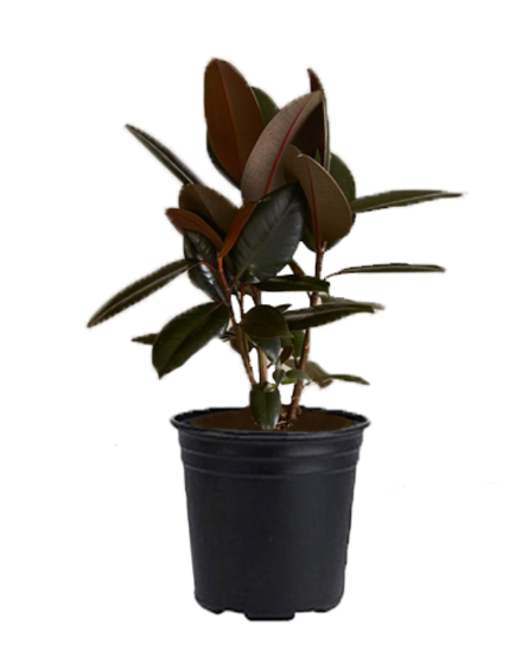 10in Burgundy Rubber Tree