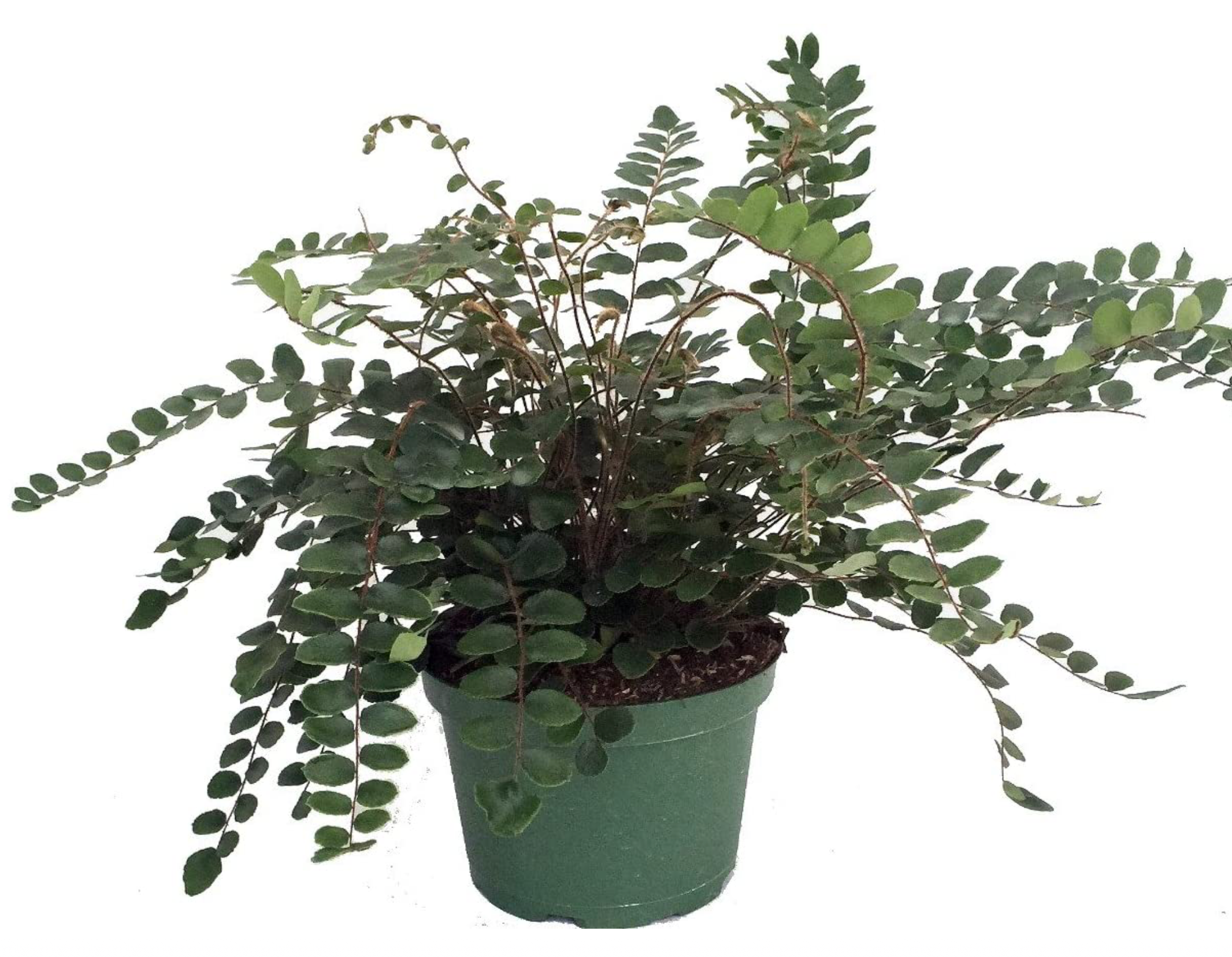 6in Button Fern
