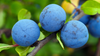 Yummy Summer Blueberries! Hand picking anyone?