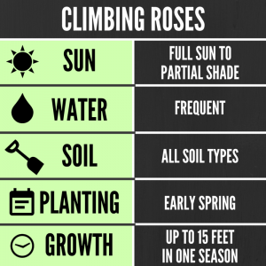 Tips for growing climbing roses