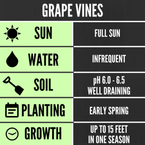 Tips for growing grape vines in your backyard
