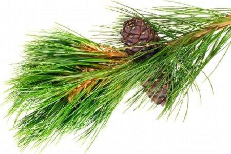 Angel's Mist Pine Essential Oil