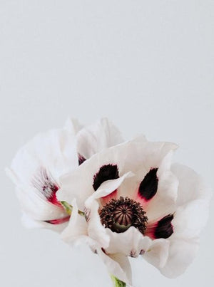 Emma Willetts - White Poppy Print