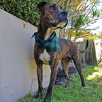 Bull Arab Mastiff Cross wearing a Black and Green Plaid Flanno Dog Bandana