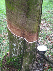 Rubber being collected from a rubber tree