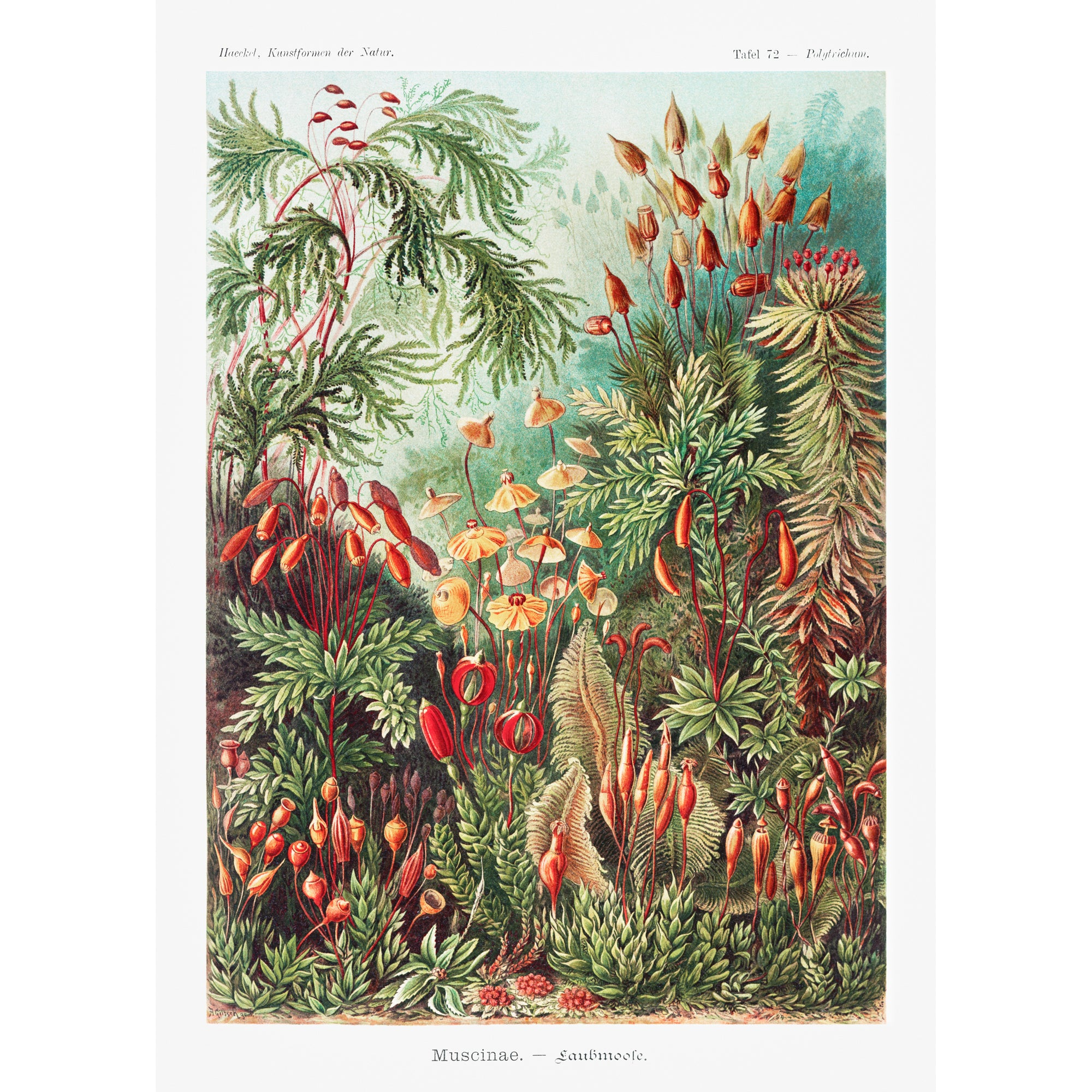 <i>Muscinae</i> by Ernst Haeckel