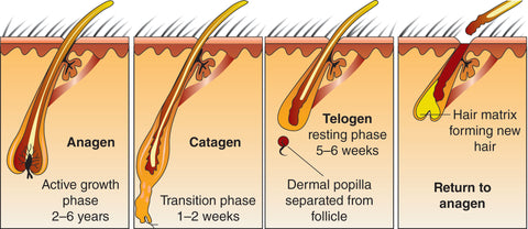 the stages of hair growth drawing including anagen, catagen and telogen