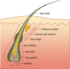 hair anatomy showing follicle and shaft