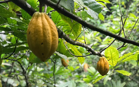 fine flavor arriba nacional cacao pod, single origin fair trade from ecuador made in california - ceremonial cacao