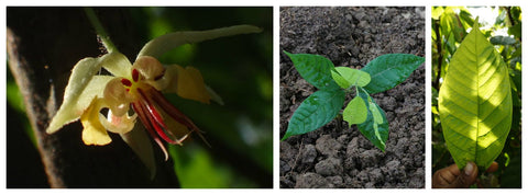 Collage showing cacao flowers, plants, and leaves