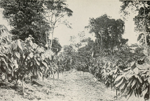Cacao Plantation in the 1920s