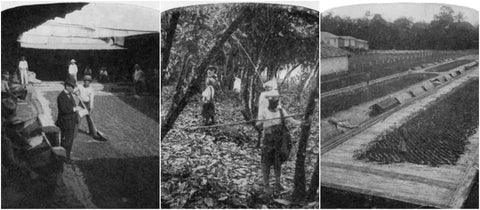 Black and white images of cacao plantations in Ecuador