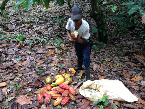 Farmer harvesting cacao at OKO Caribe, Dominican Republic