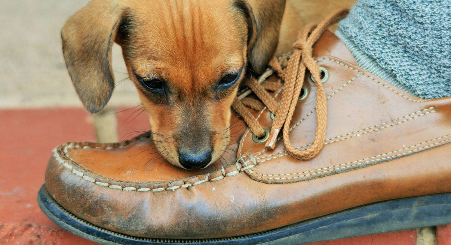 Photo of a dog chewing a leather shoe