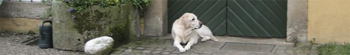 Photo of a yellow lab dog