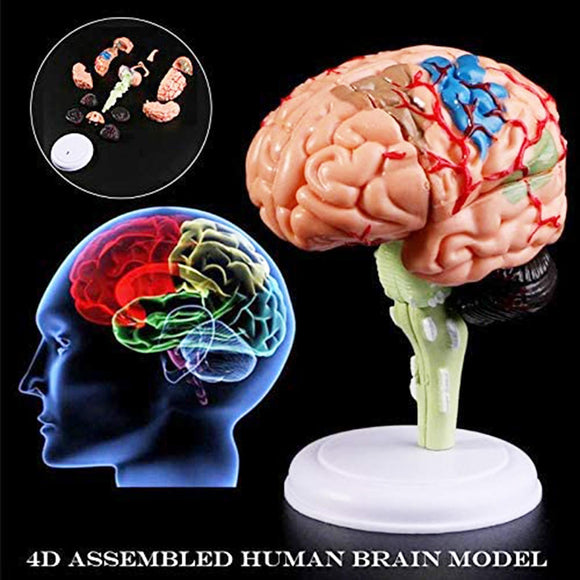 Anatomical Human Brain Model