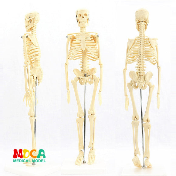 ENOVO Human Skeleton Model