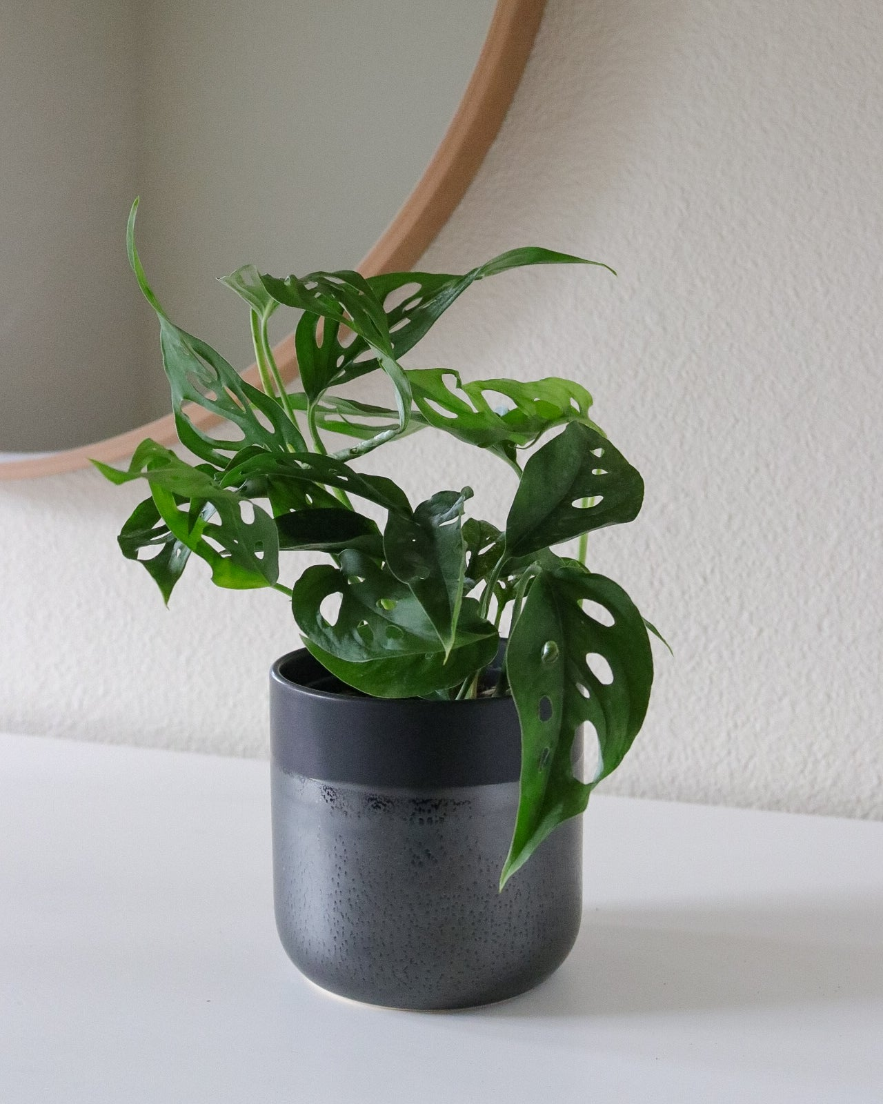 Monstera Adansonii (narrow form)