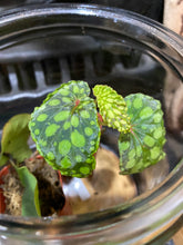 Load image into Gallery viewer, Begonia Chlorositica