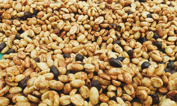 Honey processed coffees drying