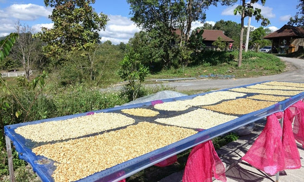 Green coffee beans drying on raised beds in the sun
