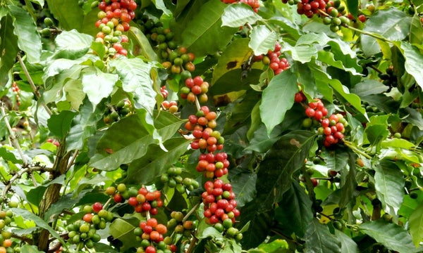 Large red coffee cherry, coffee growing on coffee plant