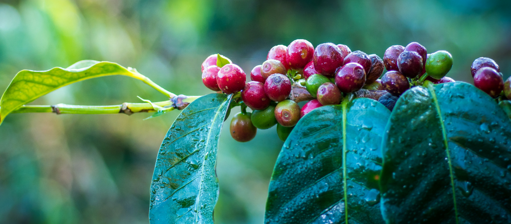 coffee flavor starts right on the vine when the fruit surrounds the coffee bean