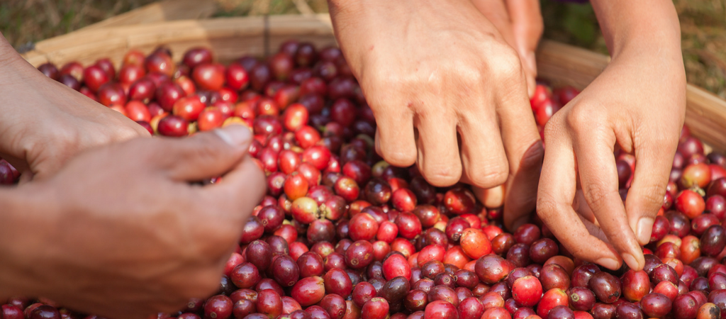 picking coffee cherries to find the perfect flavor profile