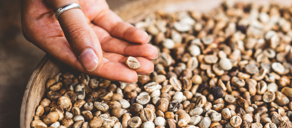 choosing the perfect green coffee bean is essential for developing flavor in the final product