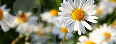 Deadly Daisies & 32 Other Plants Poisious to Pets