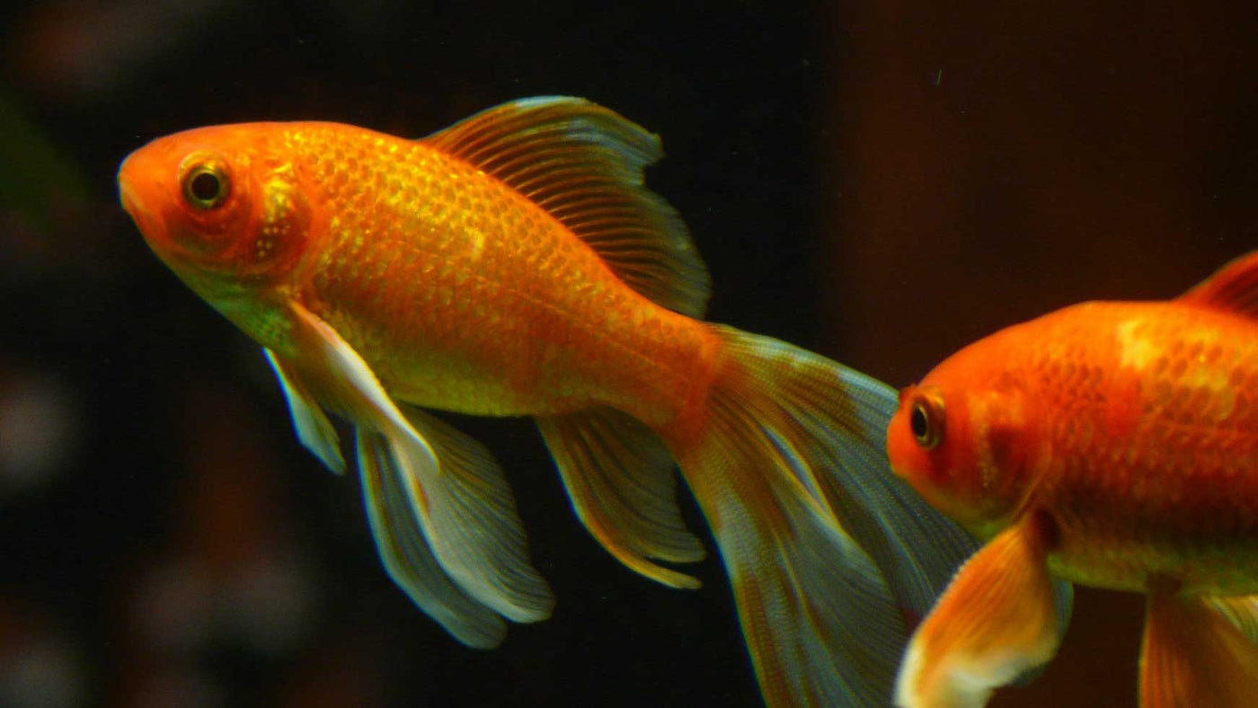 Fish Food for Ponds & Aquariums