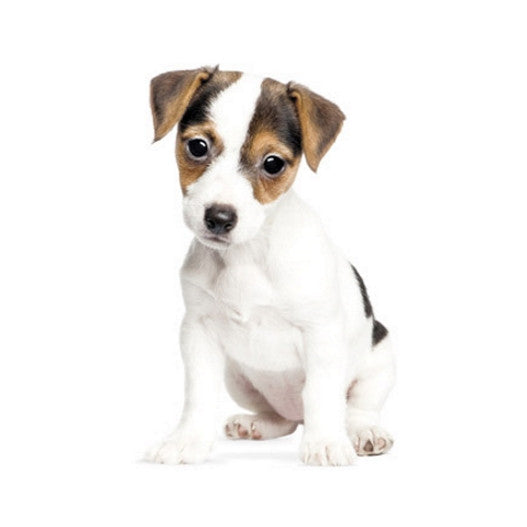 Jack Russell Puppy Wall Sticker KEK Amsterdam Milk Tooth