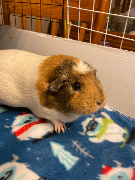 How To Introduce Two Guinea Pigs To Each Other- A Guide To Guinea Pig Bonding