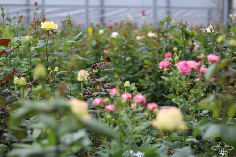Dutch glasshouses where new Roses are created by breeders