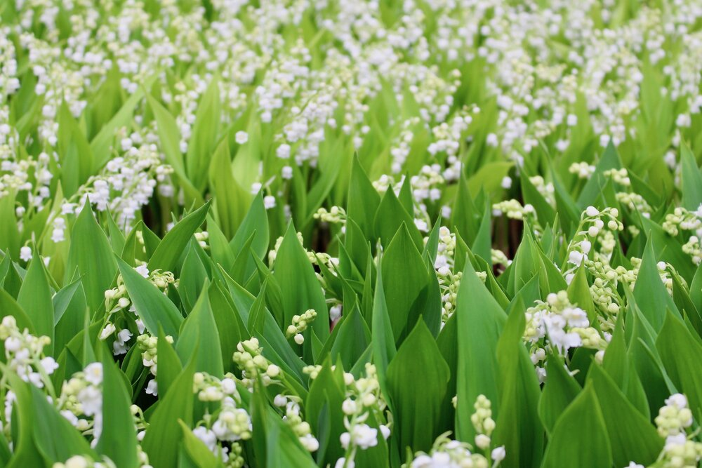 Lily of the Valley growing