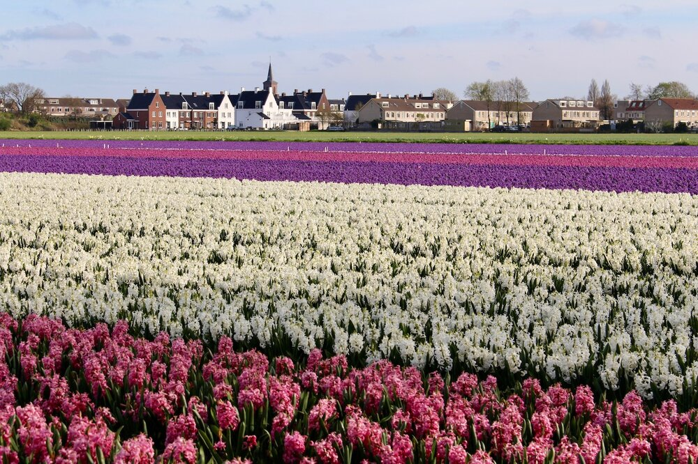 Colour bands of Hyacinths