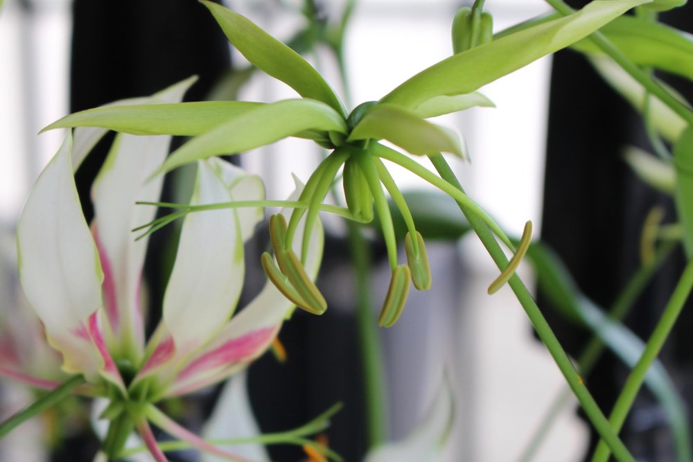 """""""Maria"""" Gloriosa flowers opening with her white petals gradually elevating to a vertical position"""