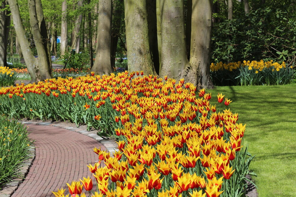 River of Lily Tulips