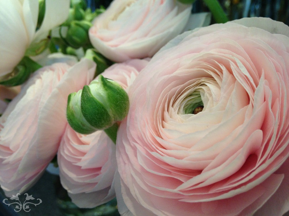 Ranunculus are available in many colours beyond pink: fuscia, yellow, white, red, orange,bordeaux...
