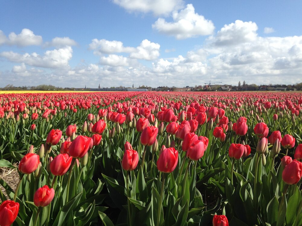 Tulips til the eye can see
