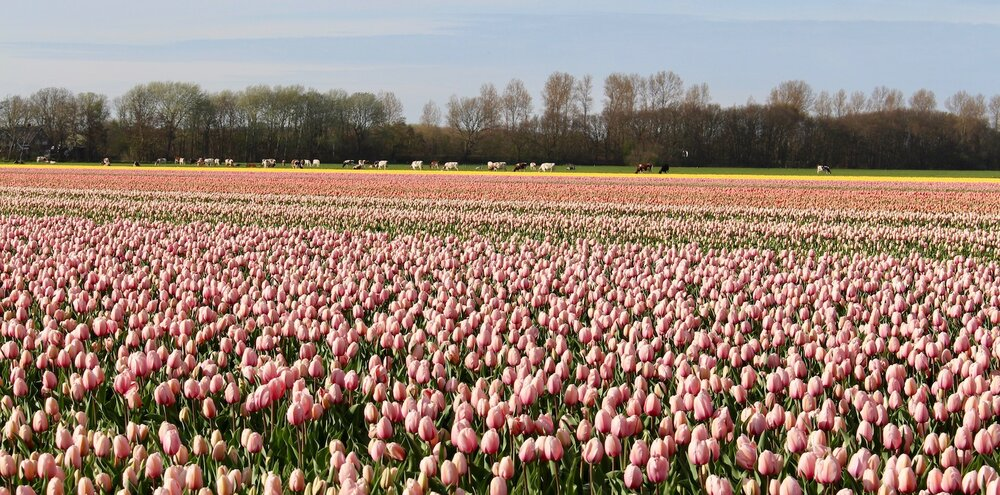 Tulips growing next to cows grazing