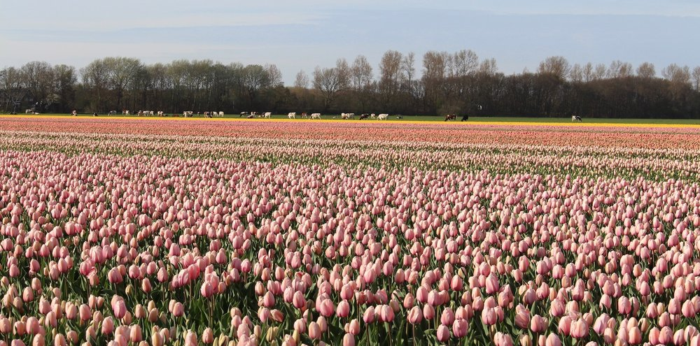 Pink and yellow Tulips growing in Holland create inspirations for International Women's Day flowers by Neill Strain Floral Couture